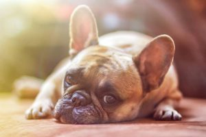 laying down French bulldog